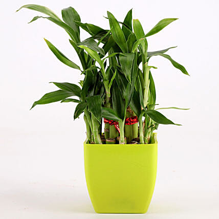 bamboo plant in green pot