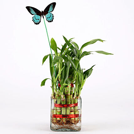 bamboo plant for her