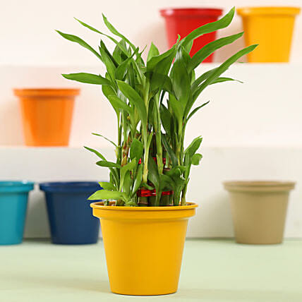 Lucky Bamboo in Pot Plant Online