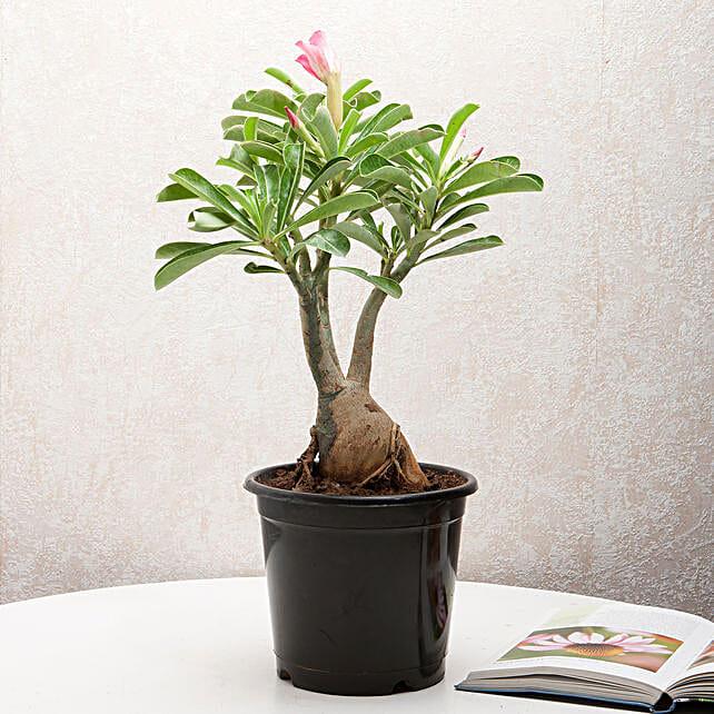 Adenium desert rose plant in a vase