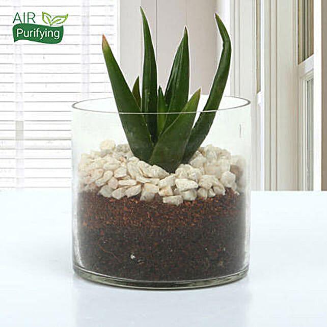 Aloe vera plant in a round glass vase