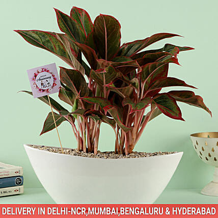 Online Plant For Anniversery