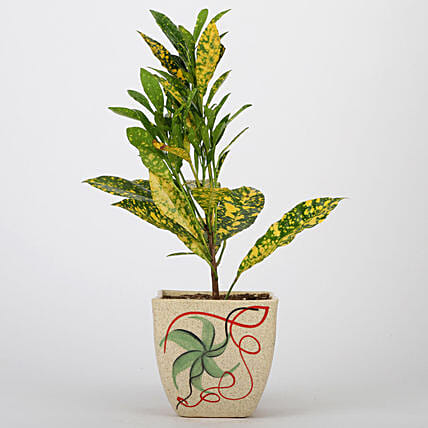 Online Baby Croton Plant For Mothers Day