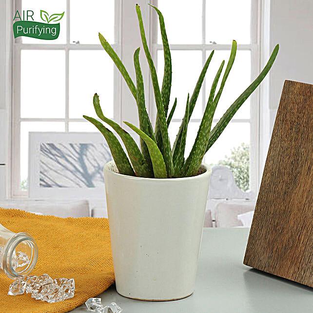 Aloe vera plant in a vase