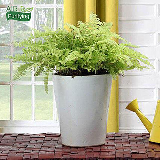 Boston fern plant in a ceramic vase