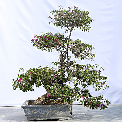 Beautiful Bonsai Plant with Planter