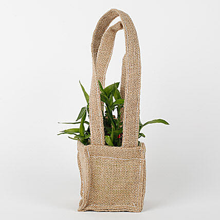 2 Layer Lucky Bamboo Plant Online