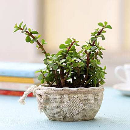 Ceramic Pot of Jade Plant