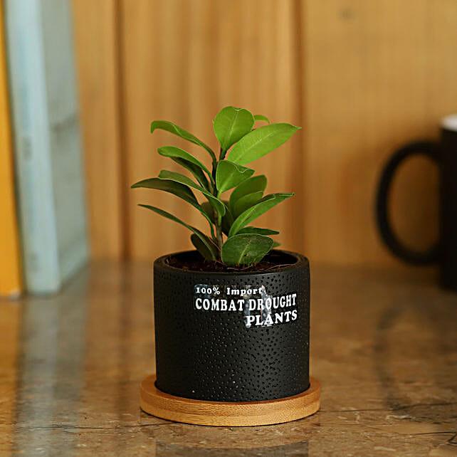 Ceramic Potted Ficus Plant