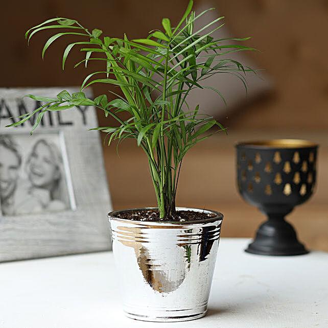 Chamaedorea Palm in Silver Pot