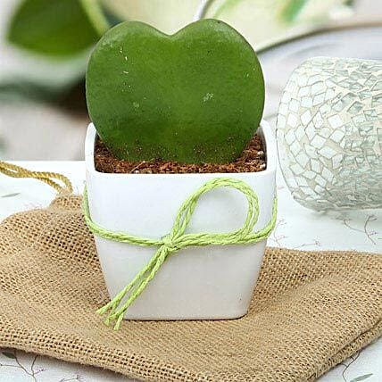 Love plant aka hoya plant in a white plastic vase wrapped with green raffia