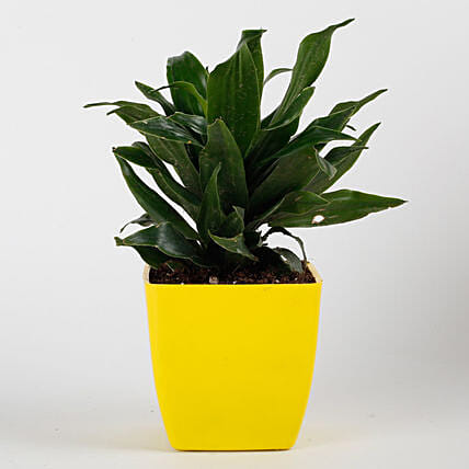 Dracaena Compacta Plant in Yellow Imported Plastic Pot