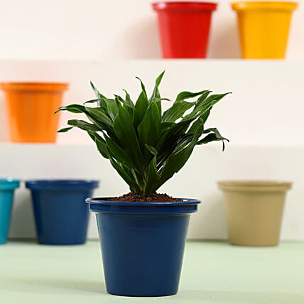 Cute Indoor Plant Online