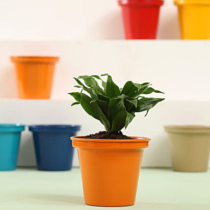 Online Cute Indoor Plant