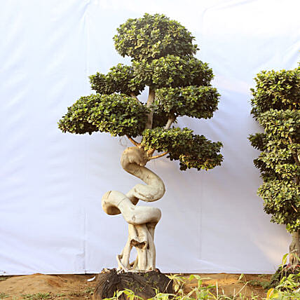Online Dragon Root Bonsai Tree