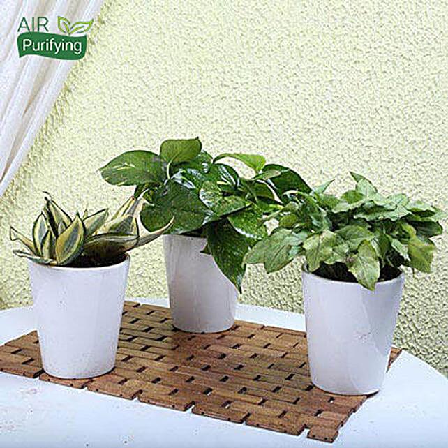 MILT sansevieria, money and syngonium green plants in ceramic pots
