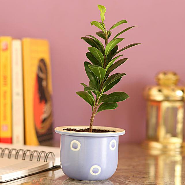 Ficus Compacta In Blue Ceramic Pot