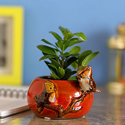 Ficus Compacta In Designer Red Ceramic Pot