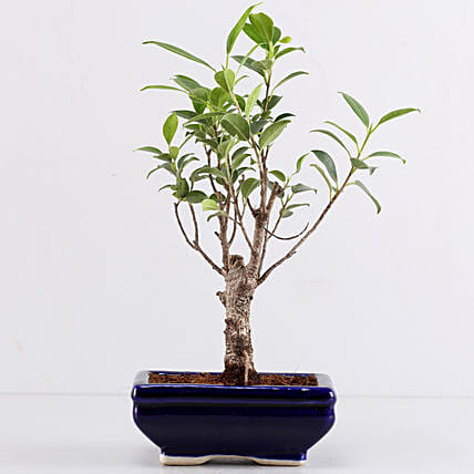 Plant with Blue Planter Online