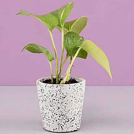 Golden Money Plant In White Ceramic Pot