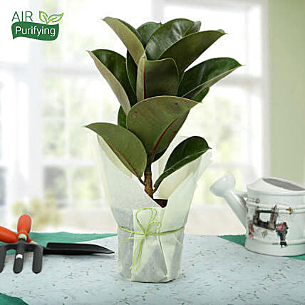 Rubber plant in a plastic pot wrapped with white paper and green raffia