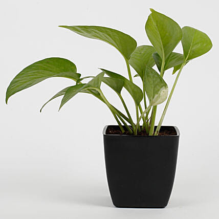 green money plant for office