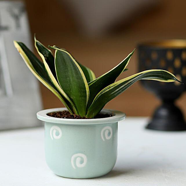 Grey Pot of Sansevieria Plant