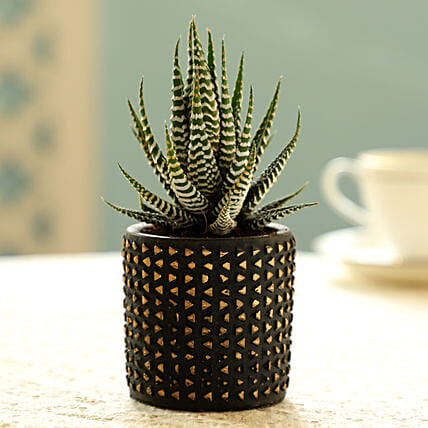 Haworthia Plant In Black Pot