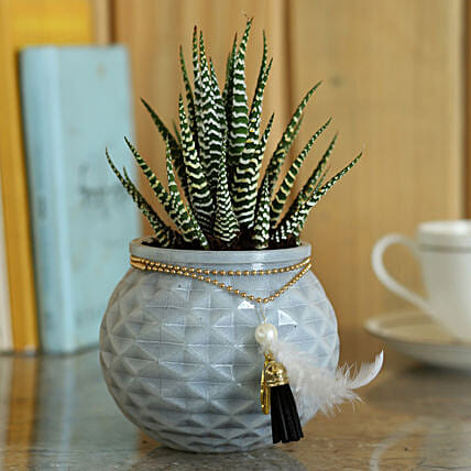 Haworthia Zebra in Glass Pot