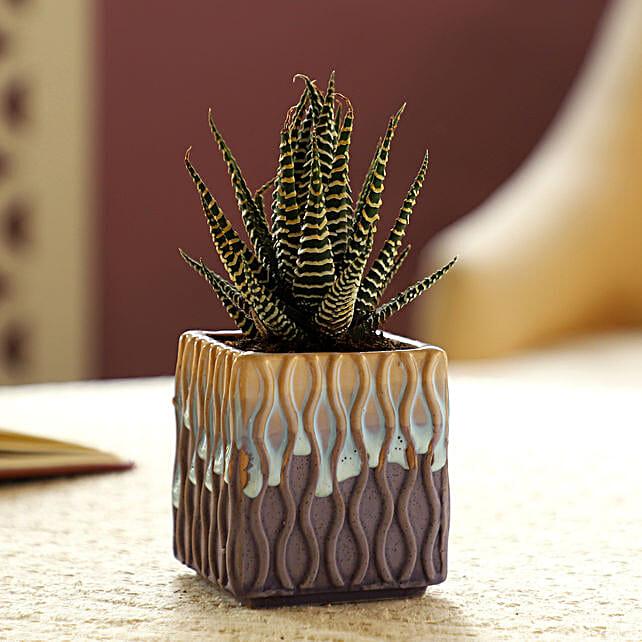 Haworthia Zebra Plant In Multicoloured Pot
