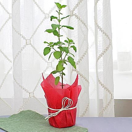 Potted green leaf tulsi plant