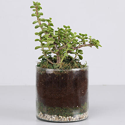 exclusive jade plant in glass vase