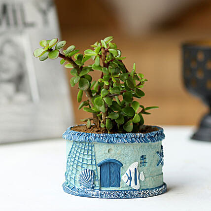 Jade Plant in Aqua Pot