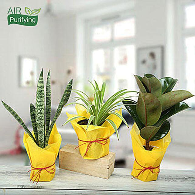 Sansevieria trifasciata, spider and rubber plants in plastic pots