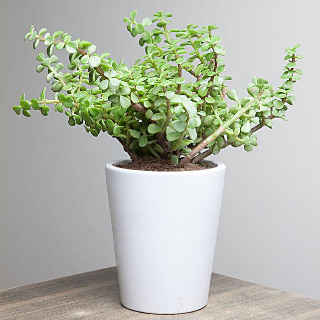 Jade plant in a ceramic vase