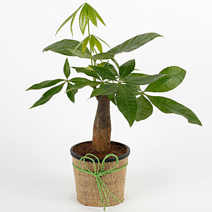 Pachira bonsai plant with a plastic pot wrapped in jute