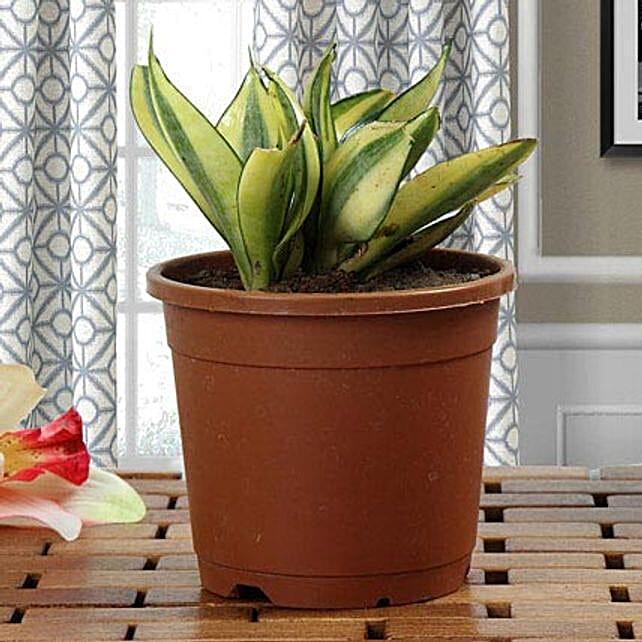 Sansevieria plant in a round vase