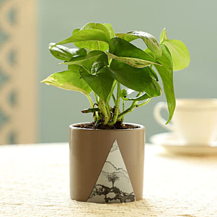 Money Plant In Beige Pot