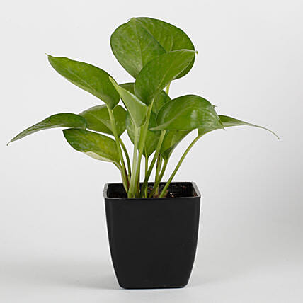 Money Plant in Black Imported Plastic Pot