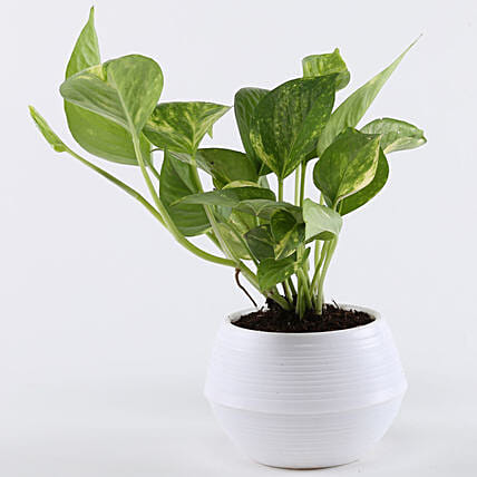money plant in white pot online