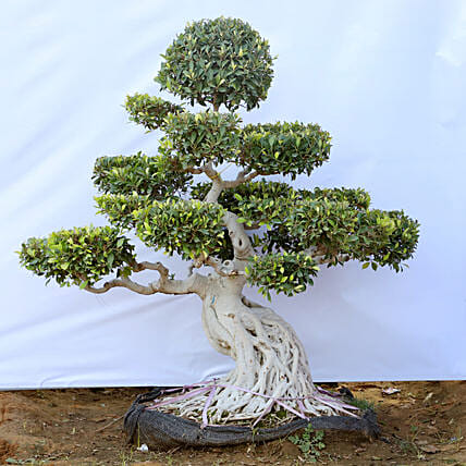 Outdoor Bonsai Tree For Garden