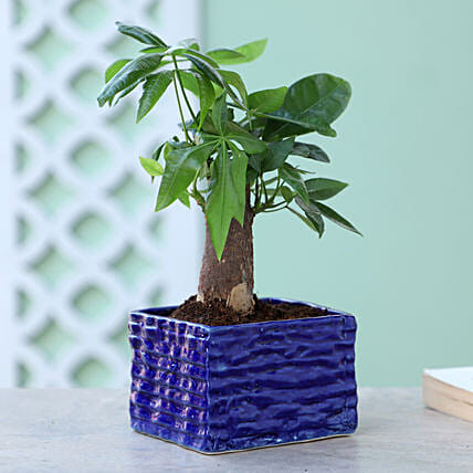 Online Bonsai Plant In Blue Pot