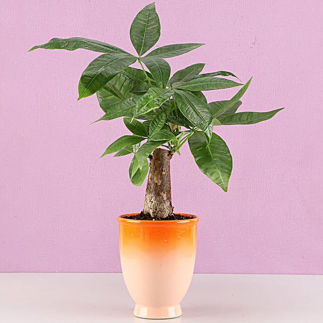 online bonsai plant in venetian vase