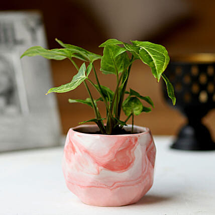 Pink Pot of Syngonium Plant