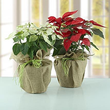 Red and white ponsettia plant wrapped in jute