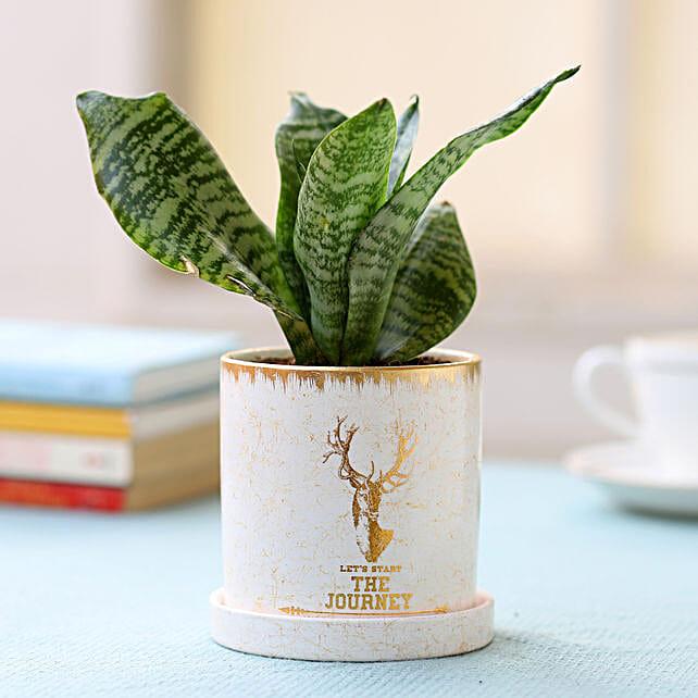 Pot of Snake Skin Sansevieria Plant