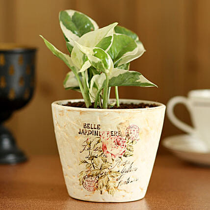 Pothos Money Plant In Ceramic Pot