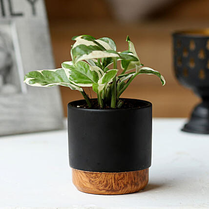 Pothos Plant in Black Pot