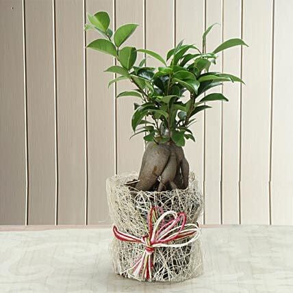 I shaped ficus plant