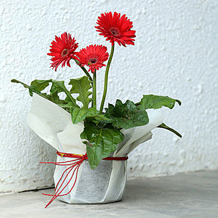Red gerbera plant in a plastic pot